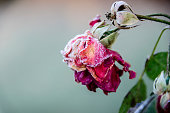 Withered rose covered with frost