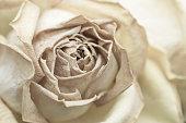Withered rose, cream-tone, macro