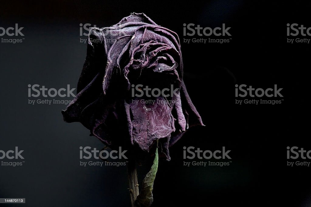 withered rose in low key stock photo