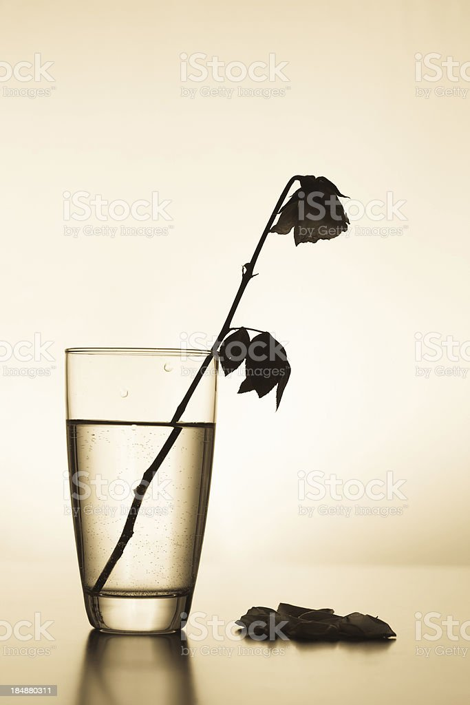 Withered rose with fallen petals royalty-free stock photo