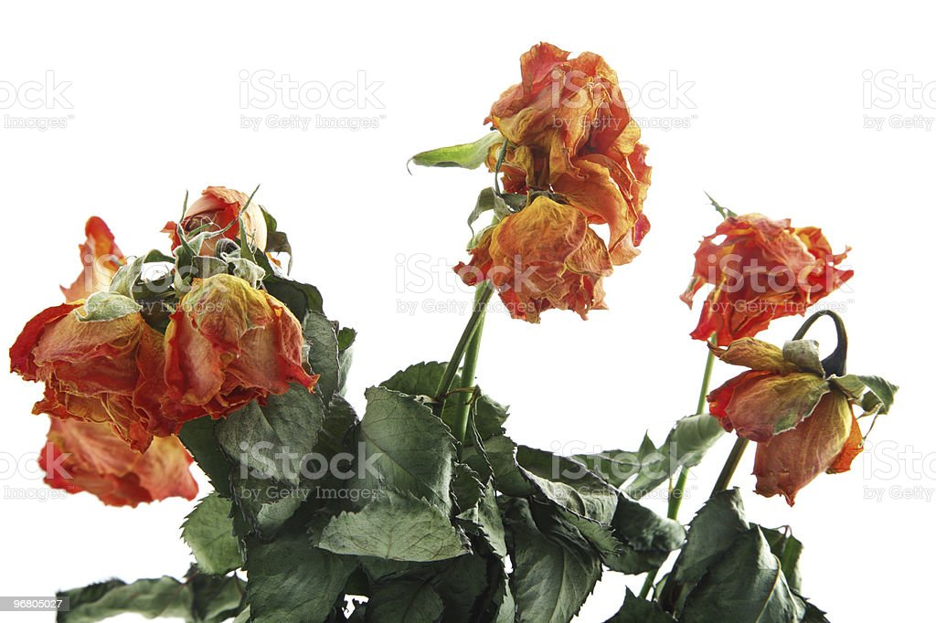 Withered roses royalty-free stock photo