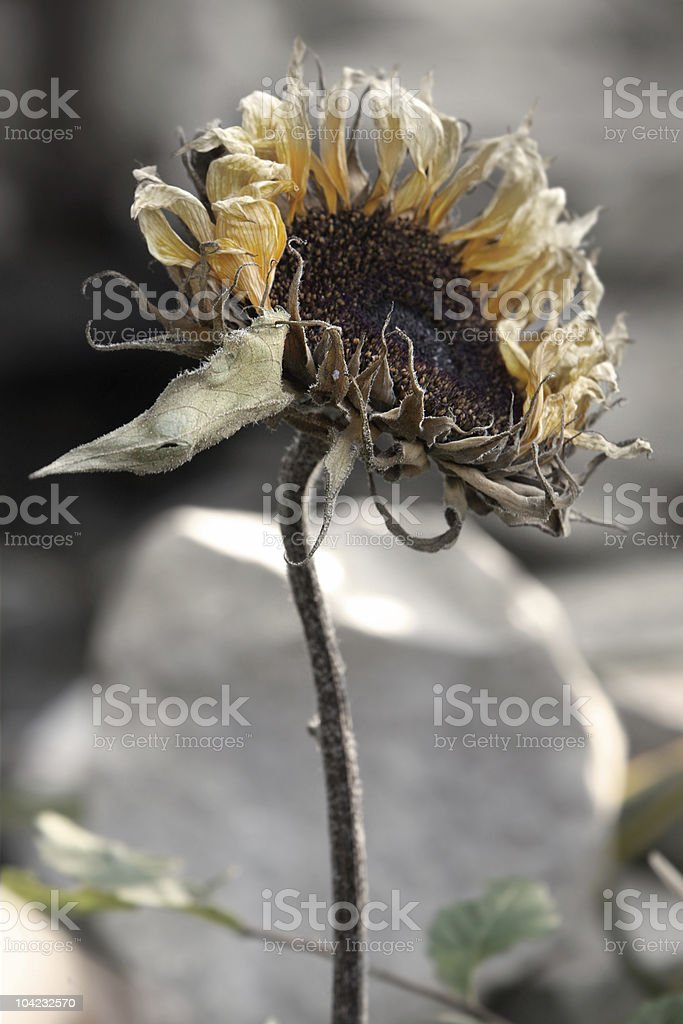 withered sunflower stock photo