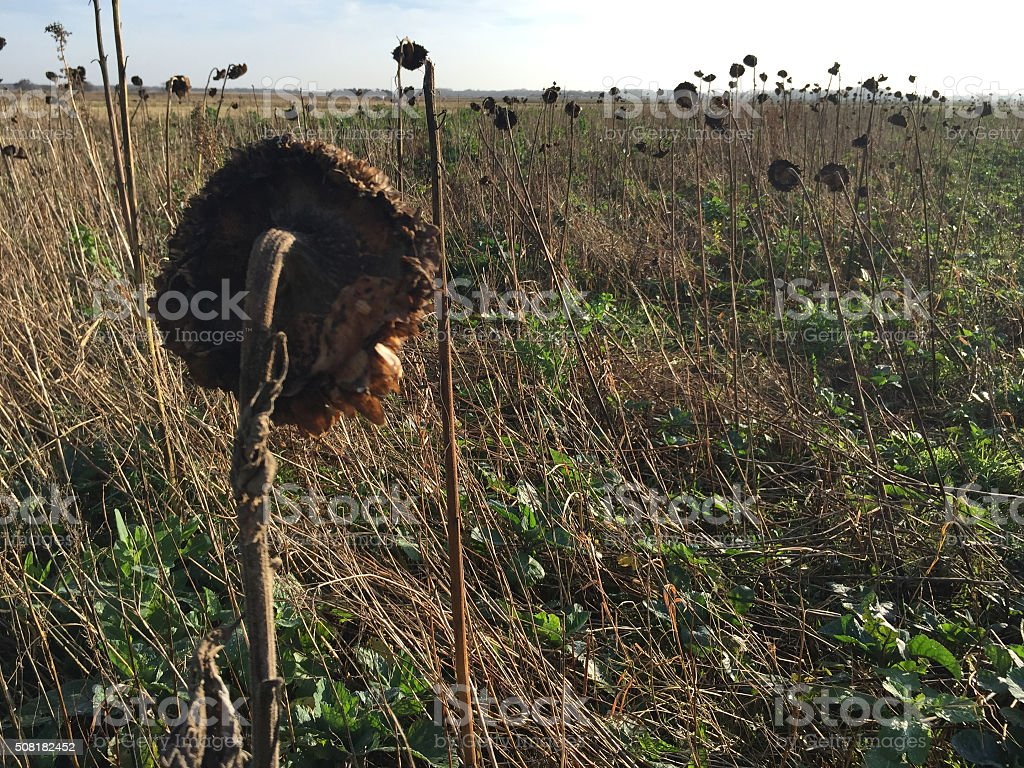 withered sunflowers stock photo