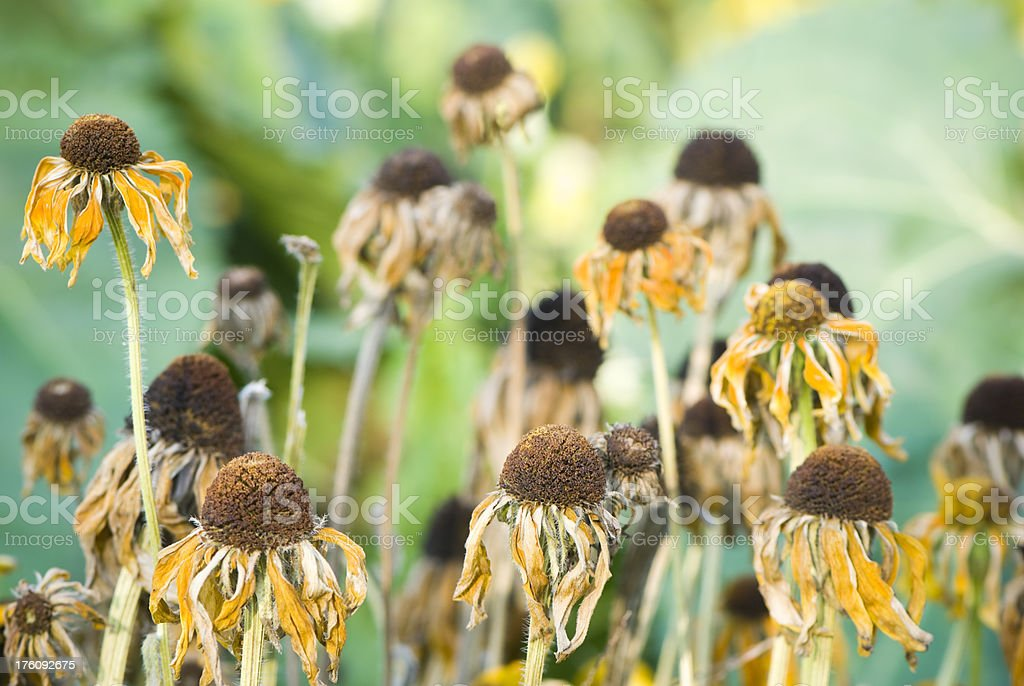 Withered sunflowers, selective focus, fall concept royalty-free stock photo
