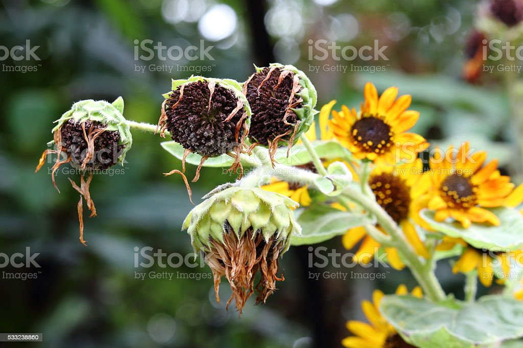 Withered Sunflowers With Blooming Sunflowers Background stock photo