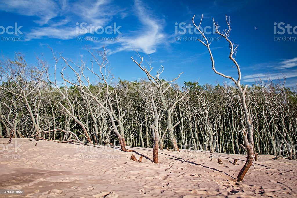 Withered trees on the dunes stock photo