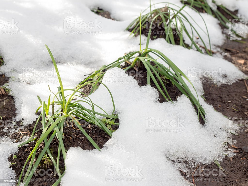 Withered vegetable trees on farm by cold whether, Chinese chive stock photo
