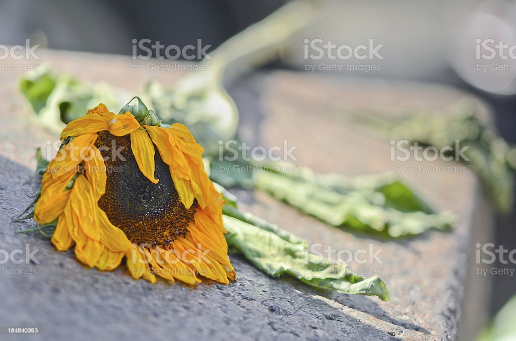 Withering Flower stock photo