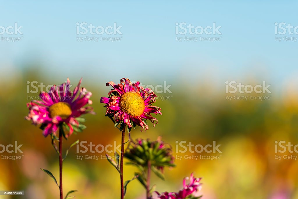 Withering red aster flowers dry decay sad defocused background stock photo