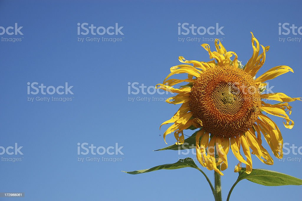 Withering Sunflower stock photo