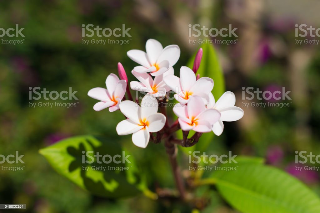 Wnite tropical exotic flowers stock photo