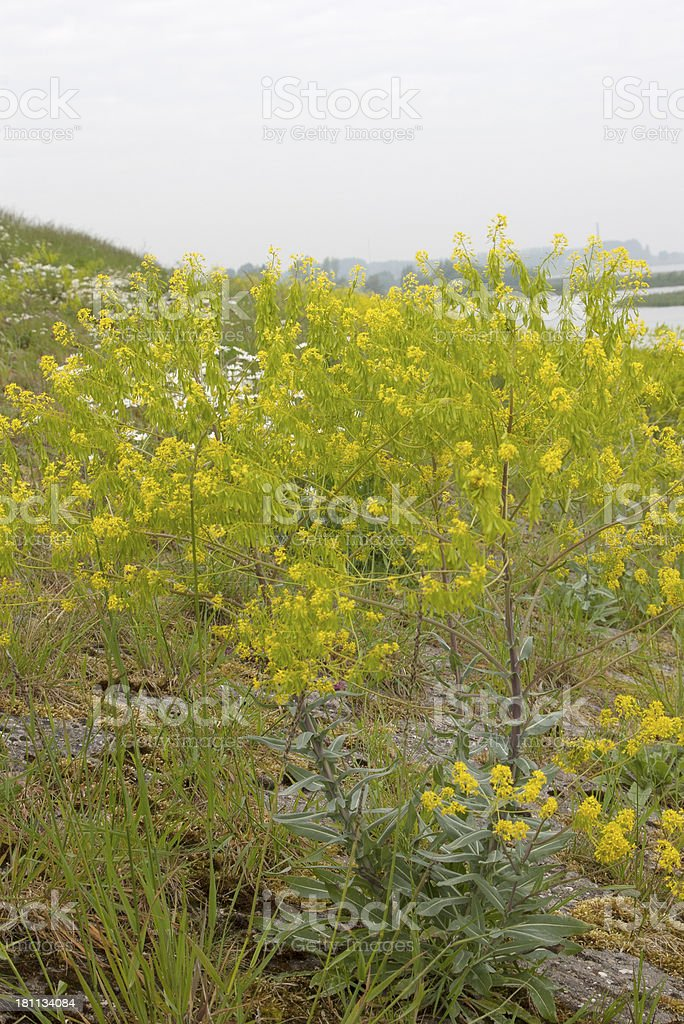 Woad (Isatis tinctoria) royalty-free stock photo