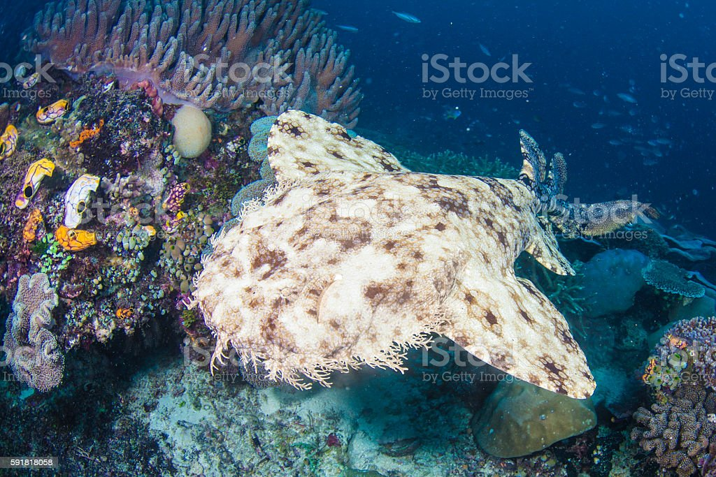 Wobbegong shark in Raja Ampat stock photo