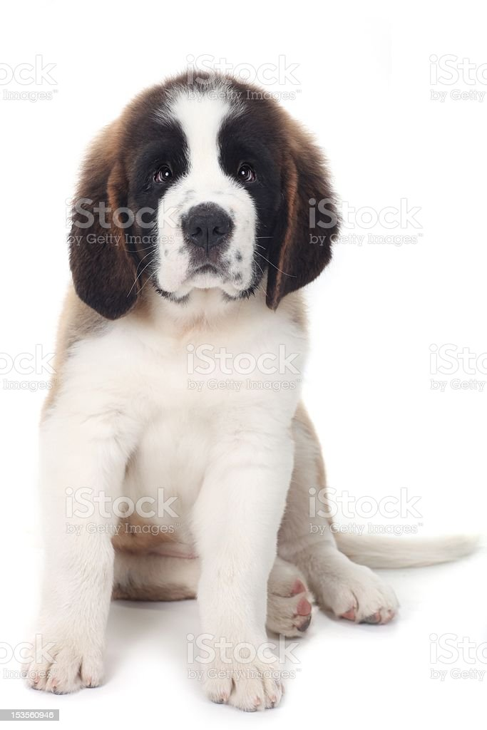 Wobegone Saint Bernard Puppy on White Background stock photo