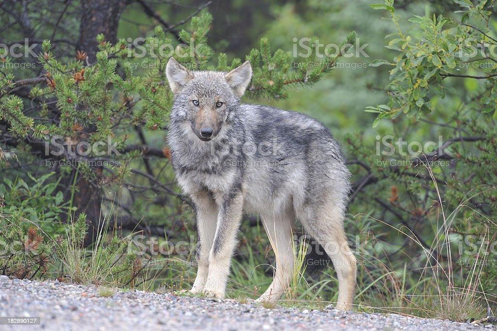 Wolf, animal in natural habitat, wildlife, James Bay, Canada stock photo