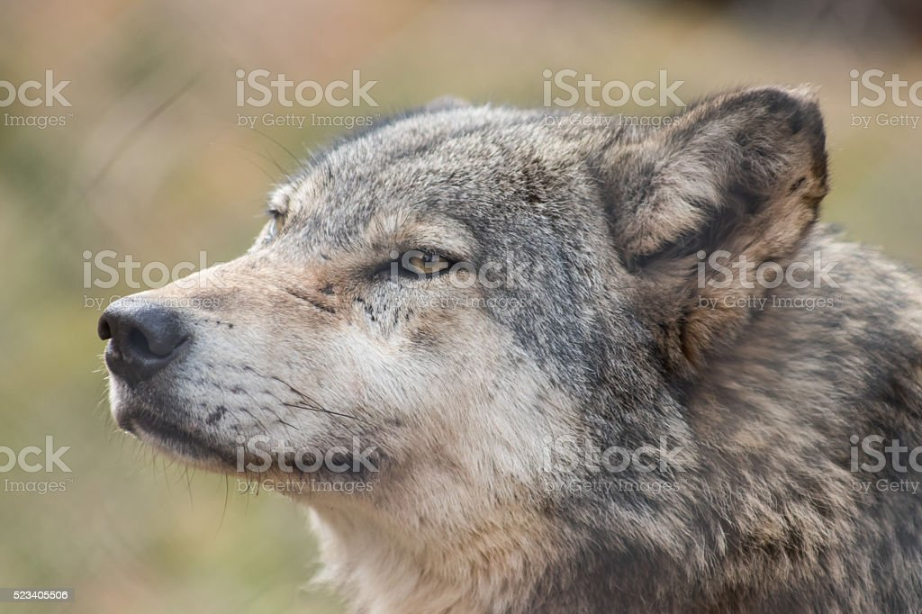 Wolf blood stock photo
