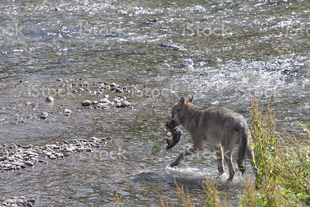 Wolf carrying fish stock photo