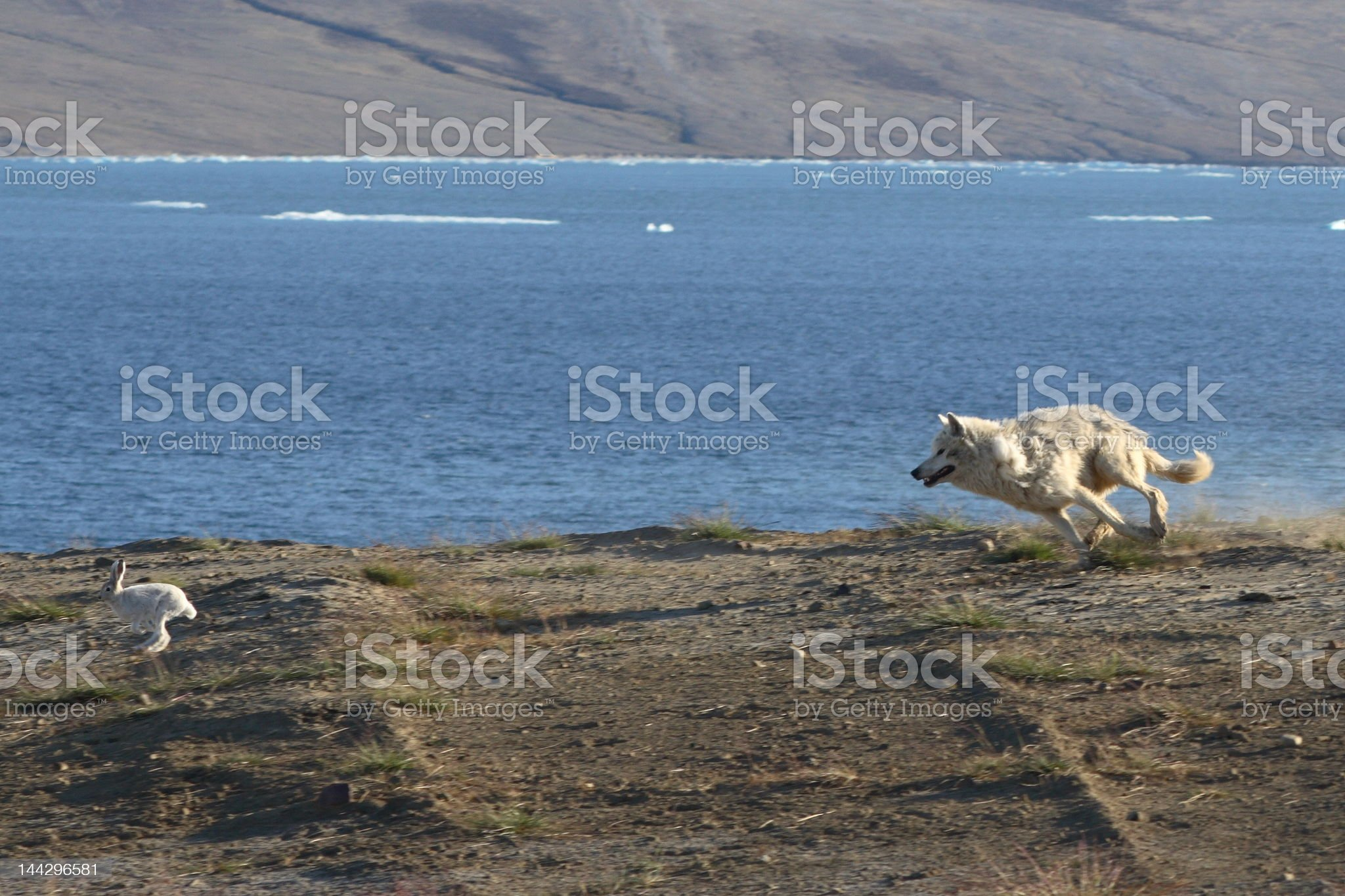 Wolf Chasing Hare royalty-free stock photo