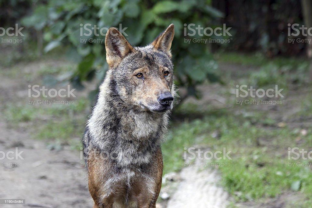 wolf close up stock photo