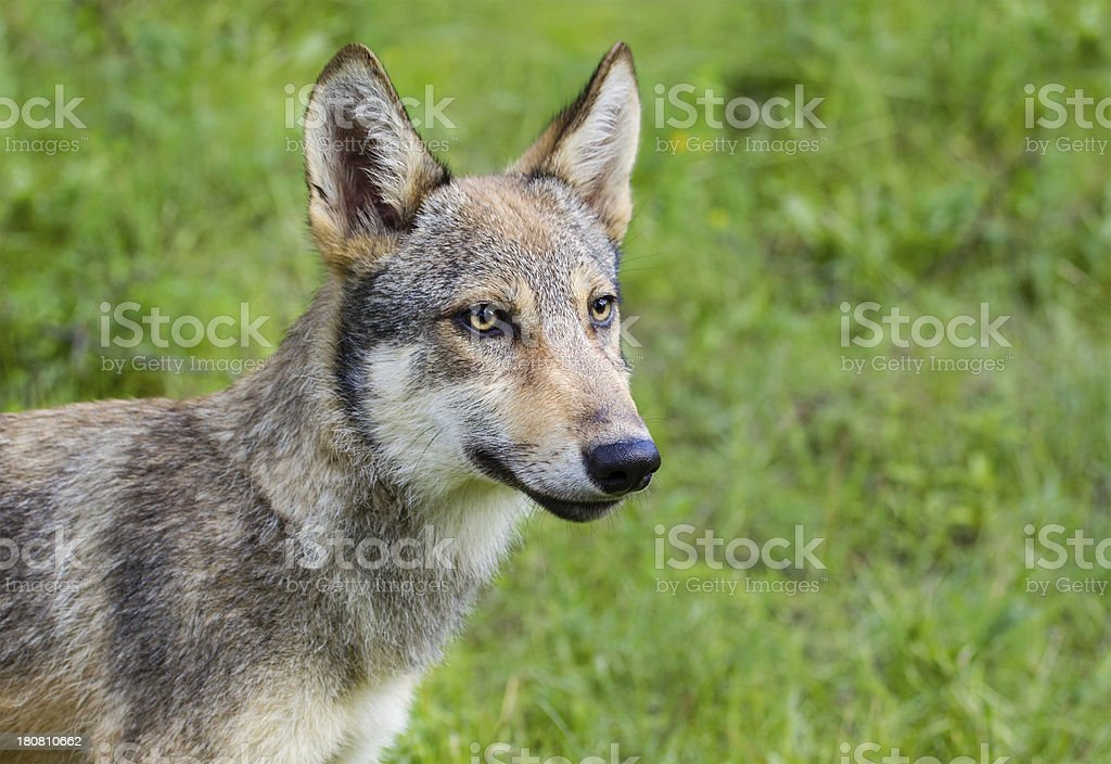 Wolf Cub royalty-free stock photo