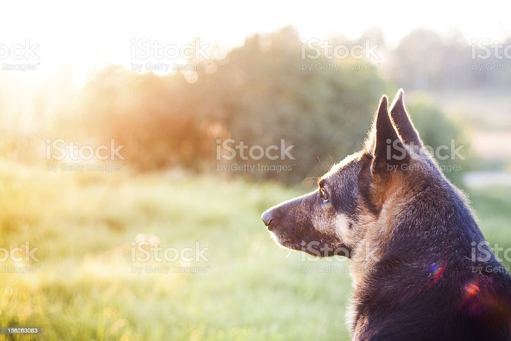 wolf dog in sunset royalty-free stock photo