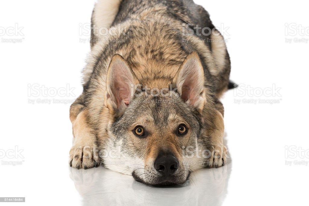 Wolf dog stock photo