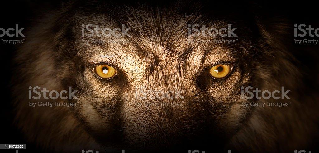 Wolf Eyes royalty-free stock photo