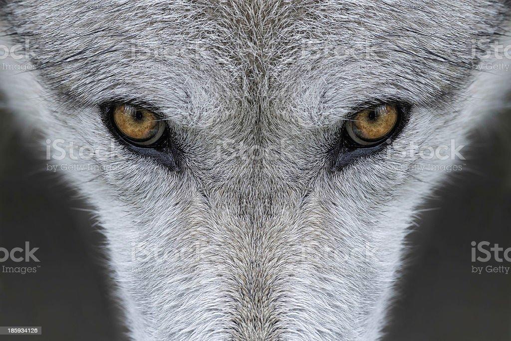 Wolf eyes stock photo