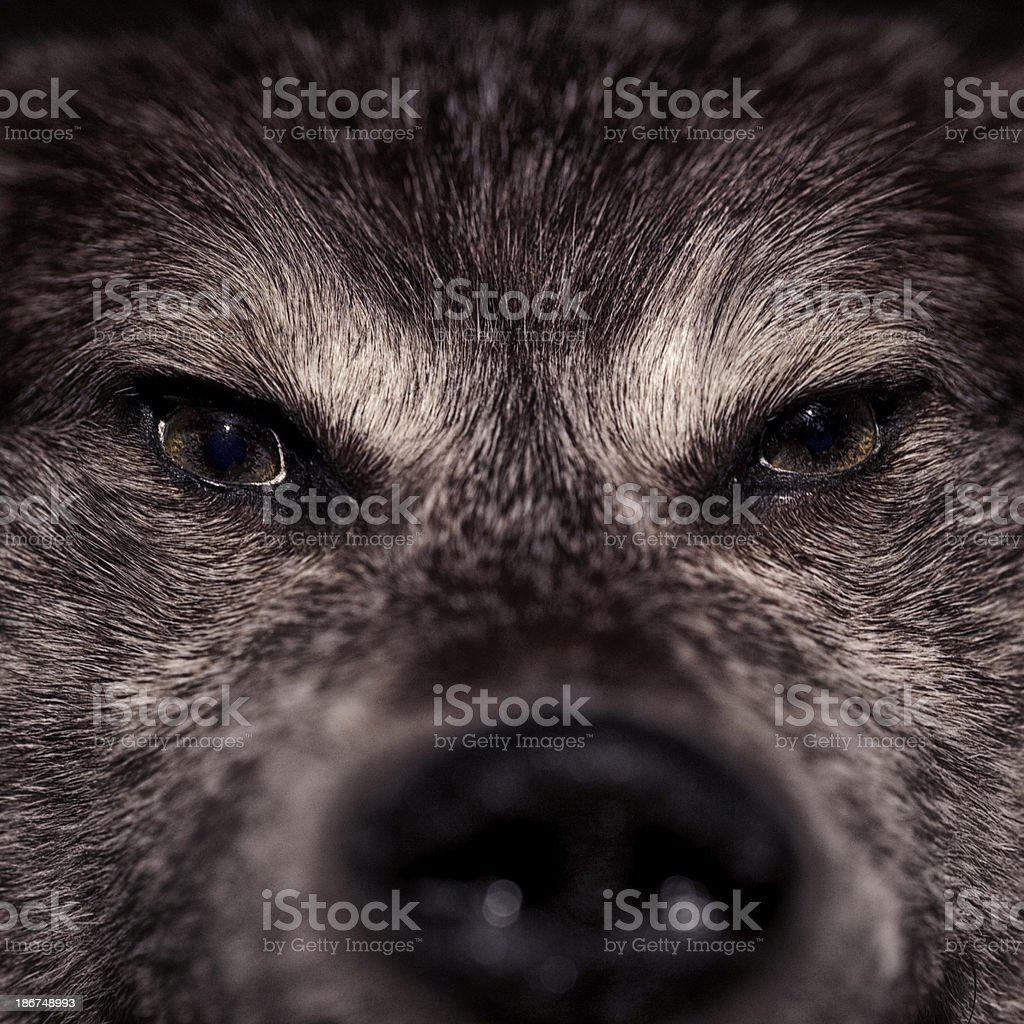 Wolf Eyes stock photo