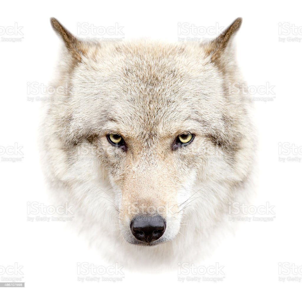 wolf face on white background stock photo