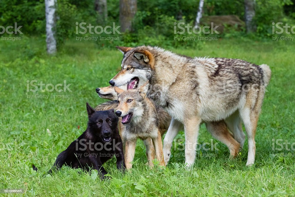 Wolf Family royalty-free stock photo