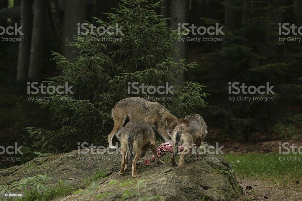 wolf feeding stock photo
