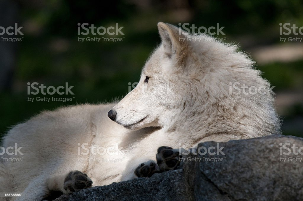 wolf have a rest. stock photo
