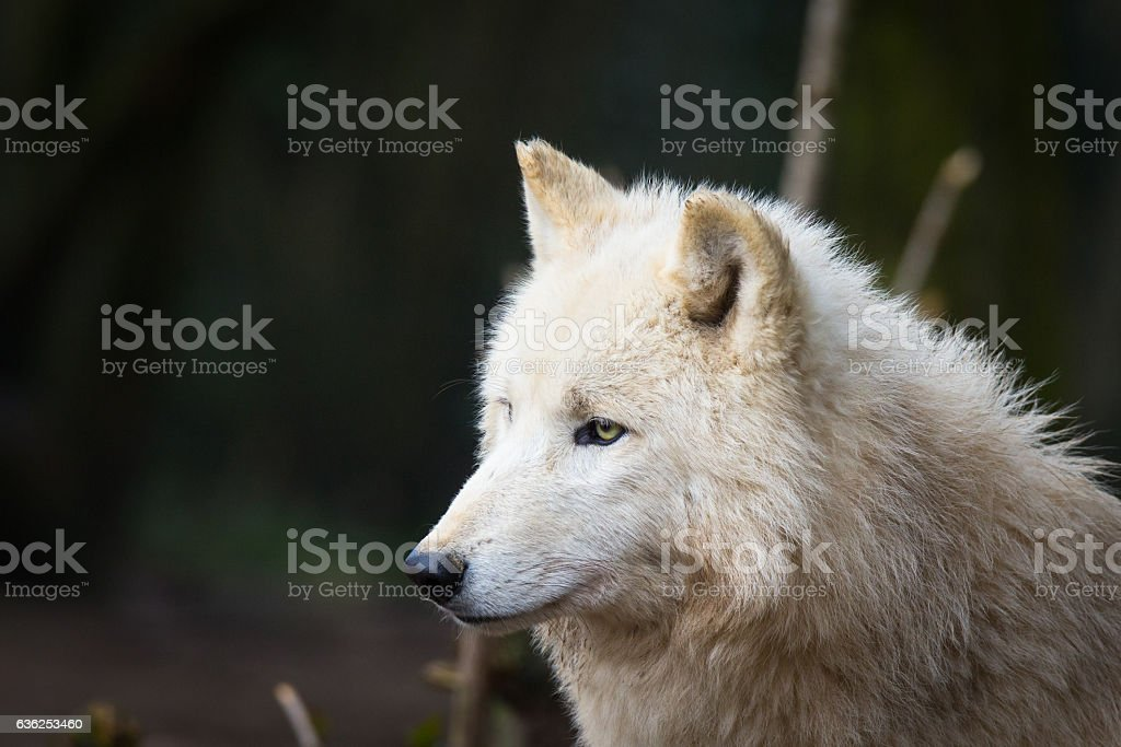 Wolf head stock photo