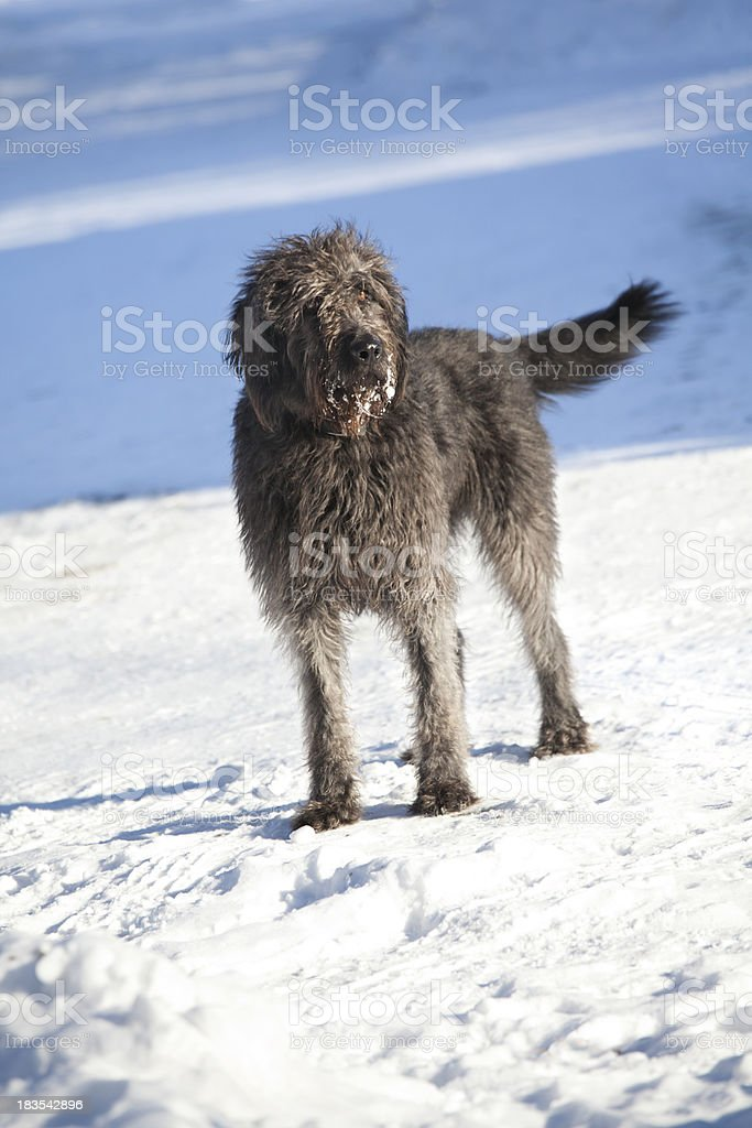 Wolf Hound Cross Dog In Snow stock photo