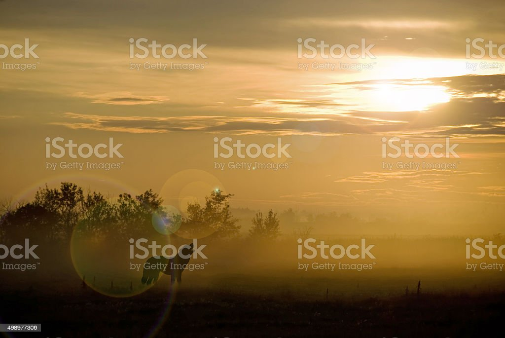 Wolf howling at sunset with fog and mist- silohutte stock photo