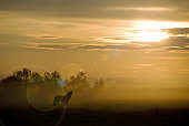 Wolf howling at sunset with fog and mist- silohutte