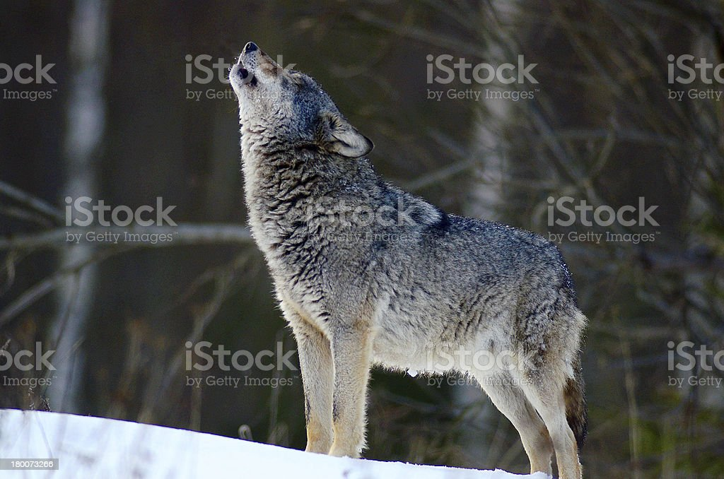 A wolf howling in the snow covered forest  stock photo