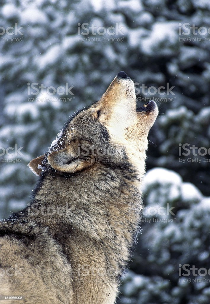 Wolf Howling stock photo
