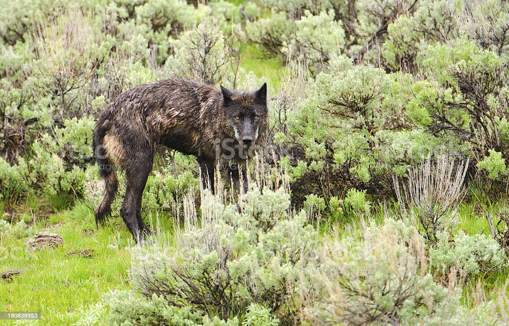 Wolf in Sagebrush - Yellowstone NP royalty-free stock photo