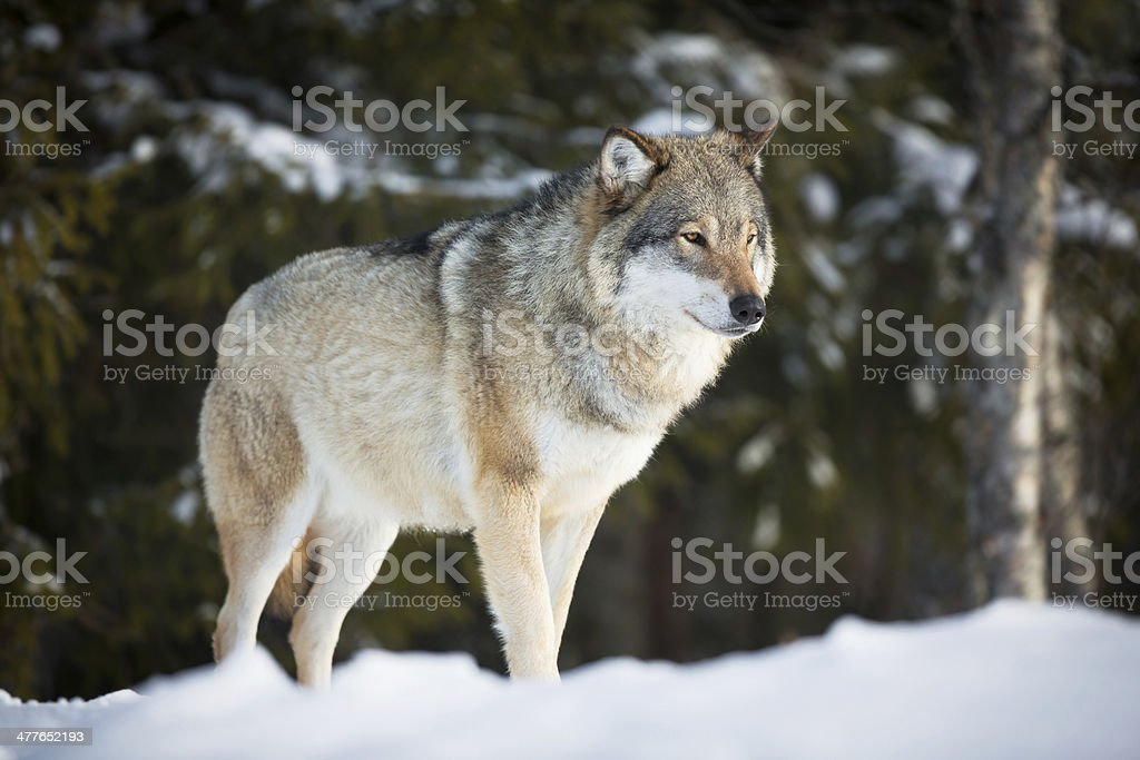 Wolf in sunset stock photo