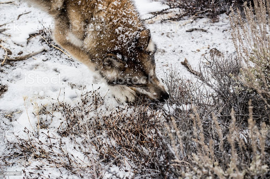 Wolf in the Snow stock photo