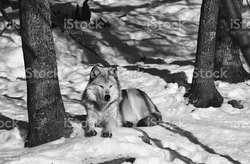 Wolf in the wild royalty-free stock photo
