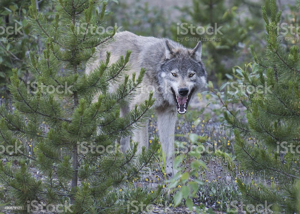 wolf in the wood stock photo