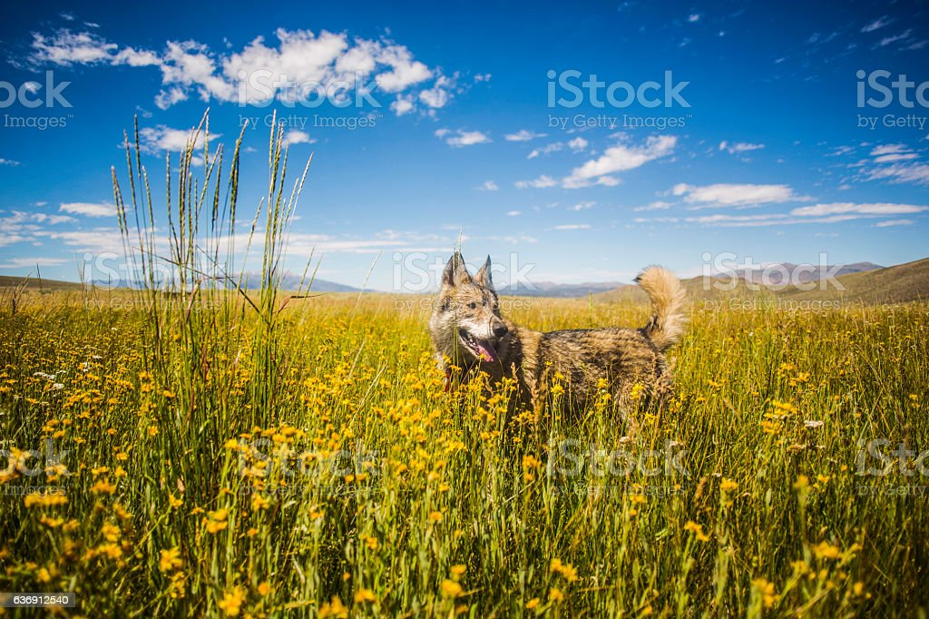 Wolf in Wild Flowers stock photo