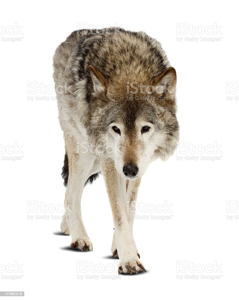 wolf. Isolated over white royalty-free stock photo