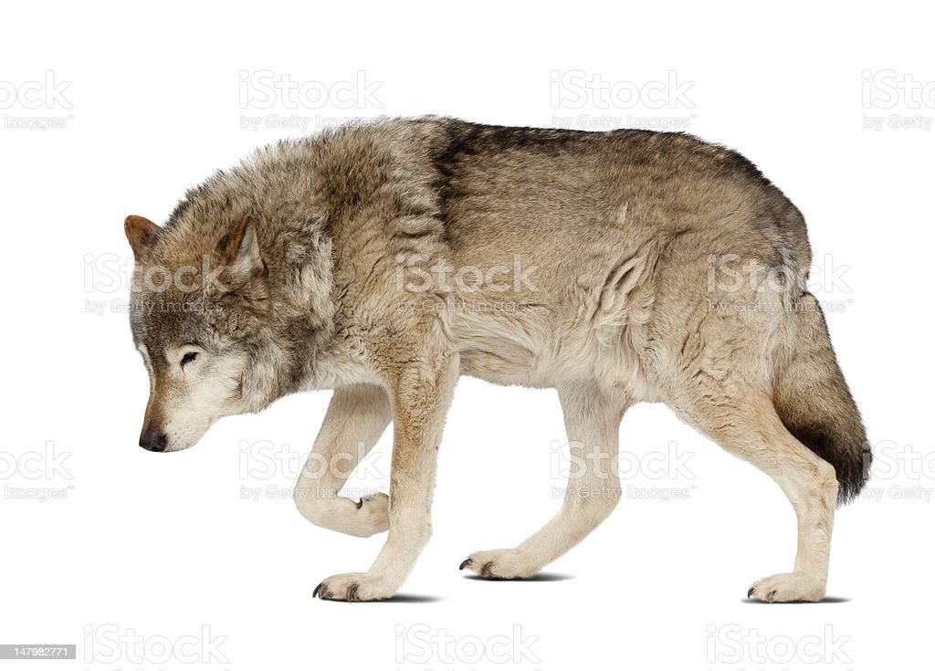 wolf. Isolated over white stock photo