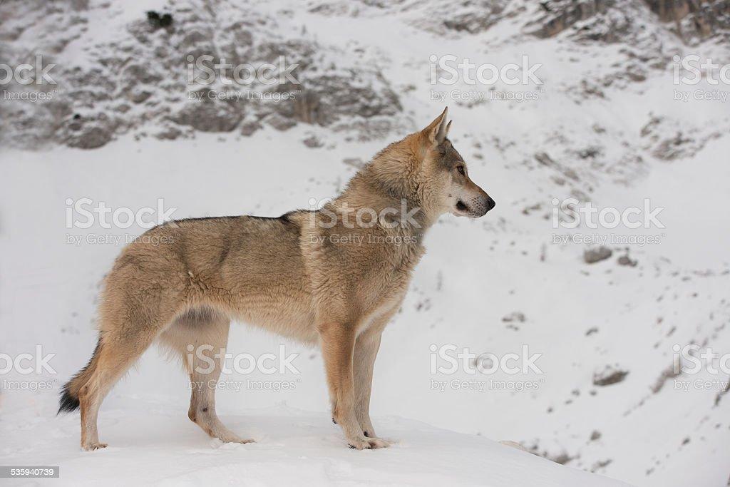 Wolf - Lupo dei Carpazi - Cecoslovacco stock photo
