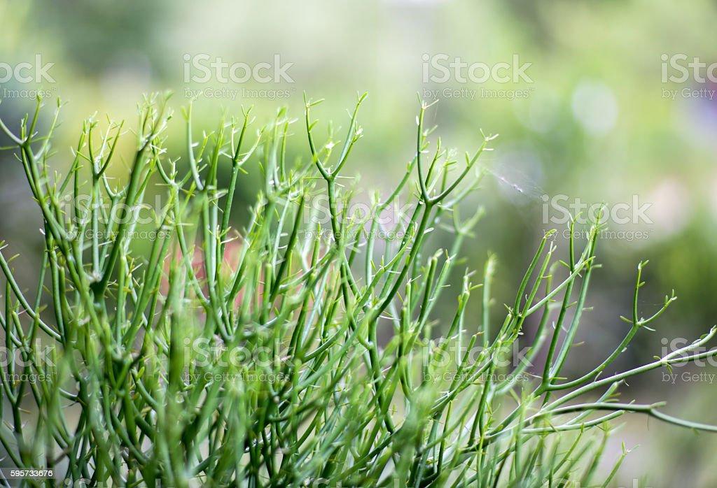 wolf milk plant. stock photo