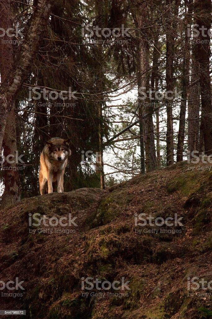 Wolf on rock stock photo